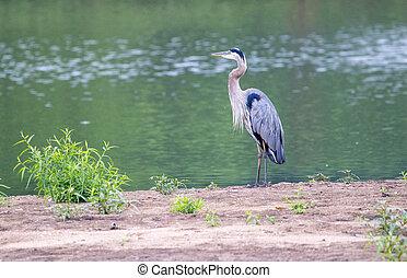 Gray Heron at the Lake