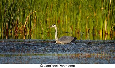 gray heron catches a huge crucian at sunrise