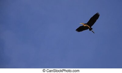 gray heron flies at sunset