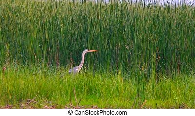 Gray Heron on the river bank