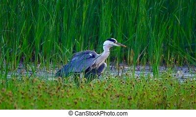 Gray Heron on the river bank