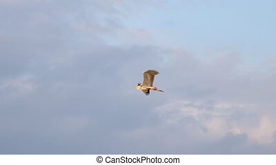 gray heron slow motion flies in the sunset sky , beauty of nature