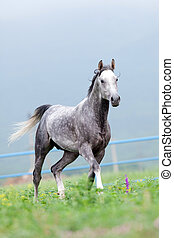 Gray horse runs in the meadow - Gray Arabian horse runs in ...