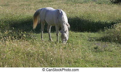 gray horse with a braid in a mane is grazed on a green...