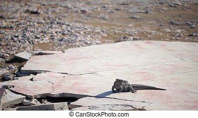Gray iguana lizard on stones at sunny day