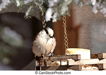 Gray Jay at feeder
