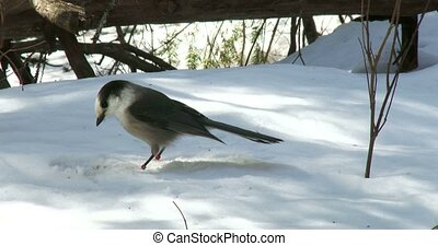Gray jay eating seeds on the snow