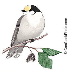 Gray Jay Perisoreus canadensis on alder