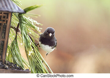 Gray Junco on Branch