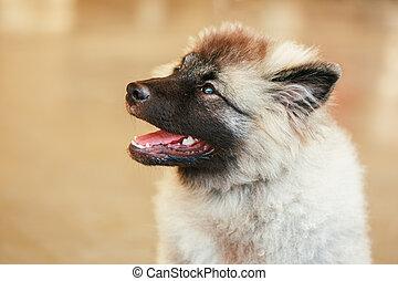 Gray Keeshound, Keeshond, Keeshonden dog (German Spitz)