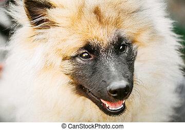 Gray Keeshound, Keeshond, Keeshonden Dog (German Spitz) Wolfspit