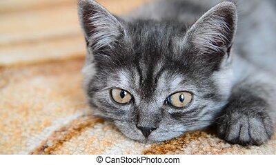 Gray kitten of British breed falls asleep - Gray kitten of a...