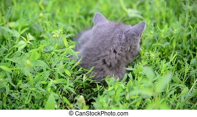 Gray kitten sitting in grass on the lawn