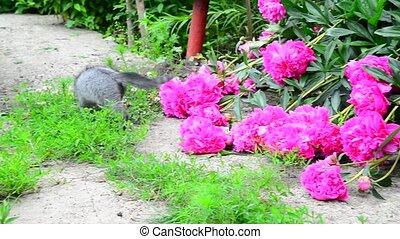 Gray kitten walks along the grass next to pink pion.