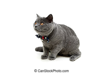 Gray kitten with a bow on a white background.