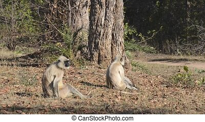Gray Langur also known as Hanuman Langur in the National...