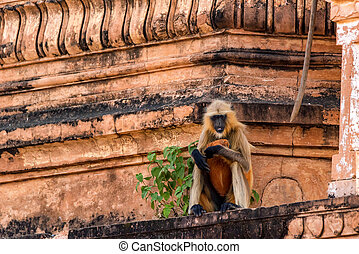 Gray langur or Semnopithecus etellus sits on wall
