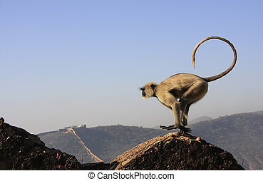 Gray langur playing at Taragarh fort, Bundi, India - Gray ...