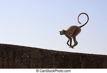 Gray langur playing at Taragarh fort, Bundi, India - Gray...