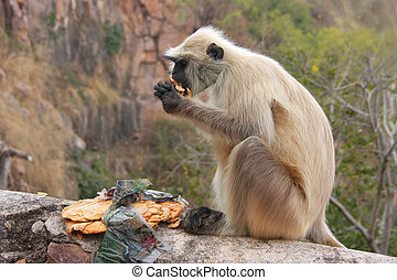 Gray langur (Semnopithecus dussumieri) eating at Ranthambore For