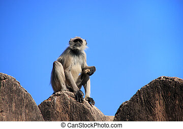 Gray langur (Semnopithecus dussumieri) sitting at Ranthambore Fo