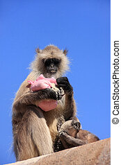 Gray langur (Semnopithecus dussumieri) with a baby eating at Ran