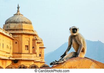 Gray langur sitting in Amber Fort near Jaipur, Rajasthan, India