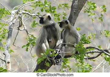 Gray langurs or Hanuman langurs