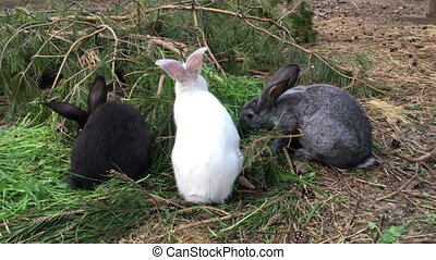 Gray or brown rabbit eat green grass in summer day
