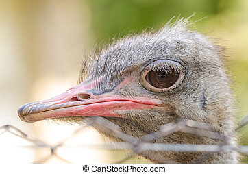 Gray Ostrich Close Up Portrait