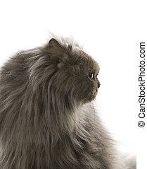 Gray Persian cat.