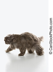 Gray Persian cat walking.