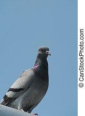 Gray pigeon 2