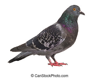 gray pigeon isolated on a white background