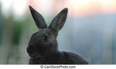 gray rabbit cleans his snout