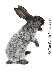 gray rabbit on a white background