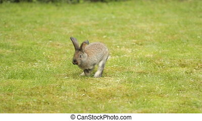 Gray Rabbit On Green Grass