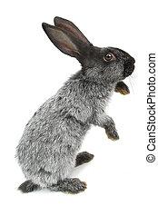 gray rabbit - gray  rabbit on a white background