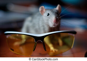 gray rat on a background of cycling glasses
