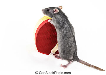 gray rat stands on its hind legs with a heart-shaped giftbox on an isolate background