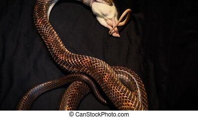 Close up on a big gray ratsnake eating a dead rat to feed itself - traveling up
