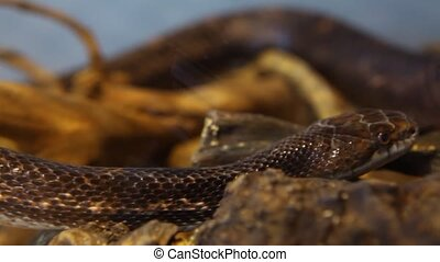 Close up on a gray ratsnake moving through his terrarium with blurry background - panning right