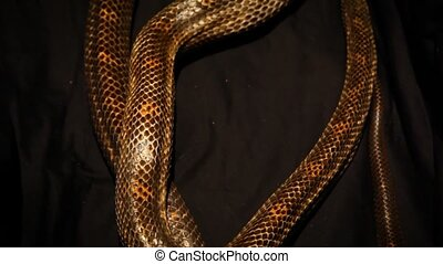 Close up on a big gray ratsnake's body moving on a black blurry background - traveling up, going out of focus