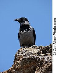 raven sitting on stone