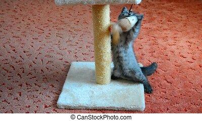 Gray Scottish kitten playing with toy - Gray Scottish kitten...
