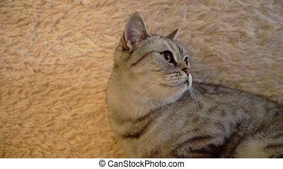 Gray scottish or britain cat