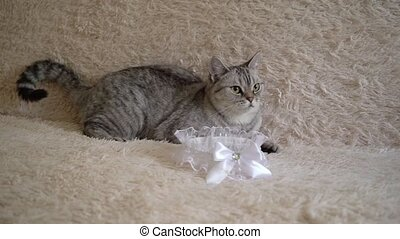 Gray scottish or britain cat with bride's garter on sofa