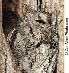 screech owl - gray screech owl perched in tree