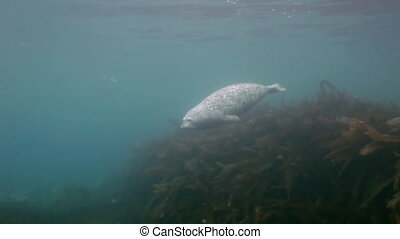 Gray seal swims  in underwater grass in Japan Sea.