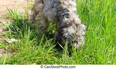 Gray shaggy dog smelling something in the grass